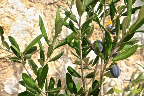 aiuta il mal di pancia foglie di olivo