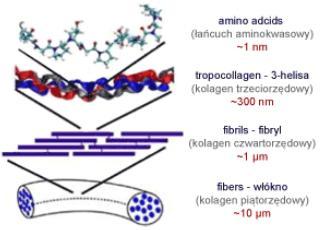 Collagene 3 elica